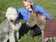 世界上最小的驢 僅高60釐米比2歲小孩還矮