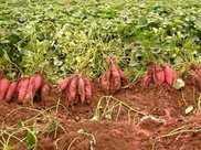 紅薯高產新技術,這些步驟不能少,紅薯長的又快還能增產