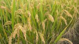 甘肅有水稻種植嗎?這個貧困縣的大米享譽西北!
