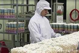 日常食用的金針菇到底乾不乾淨,看完種植過程,你就知道了!