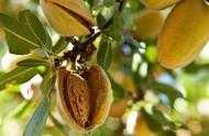 巴旦木和杏仁營養價值哪個高?巴旦木的功效與作用有哪些?