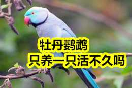 牡丹鸚鵡養一隻活不久嗎?