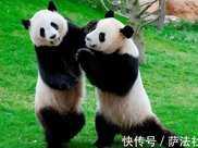 為何虎豹不敢攻擊熊貓?專家:看熊貓在上古時期叫什麼就明白了